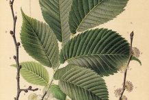 Plant-illustration-of-Slippery-Elm