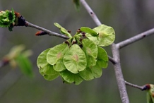 Samaras-of-Slippery-Elm--on-the-tree