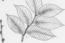 Sketch of slippery elm