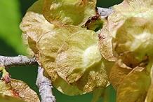 Dried-samaras-of-Slippery-Elm