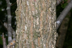 Bark-of-slippery-Elm