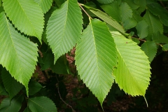Leaves-of-Slippery-Elm