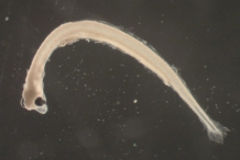 Larvae-of-Smelt-fish