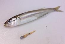 Smelt-fish-2