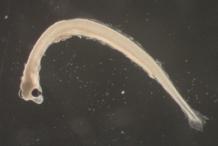 Larvae-of-Smelt-fish