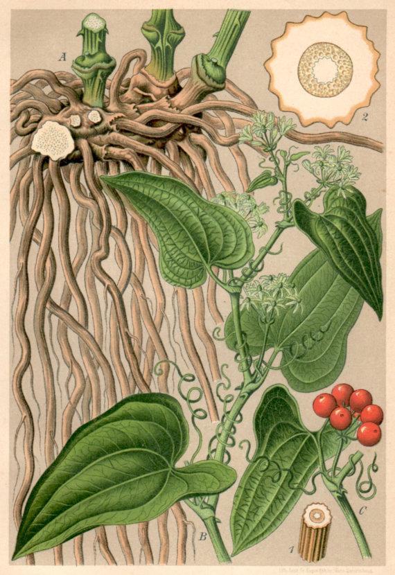 Smilax-plant-illustration