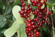 Smilax-berries