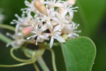 Smilax-close-up-flowers