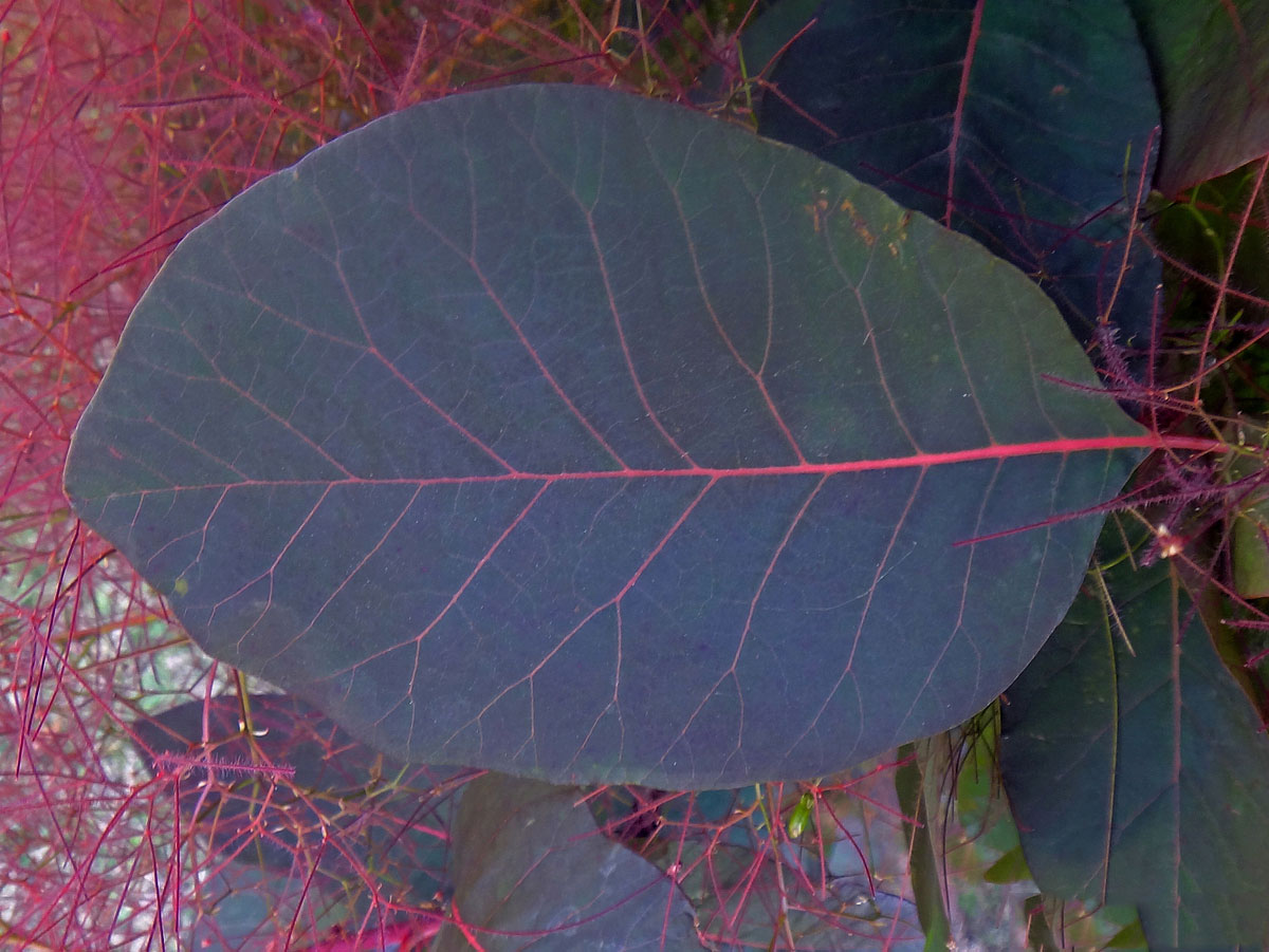 Closer-view-of-leaf-of-Smoke-tree
