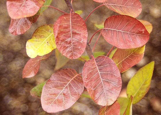 Fall-Leaves-of-Smoke-tree