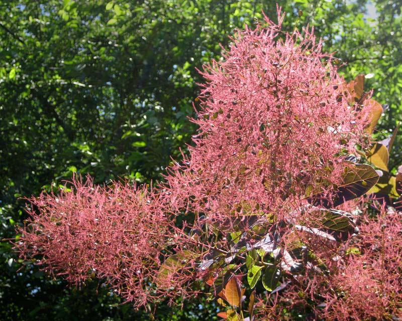 Flowers-of-Smoke-tree