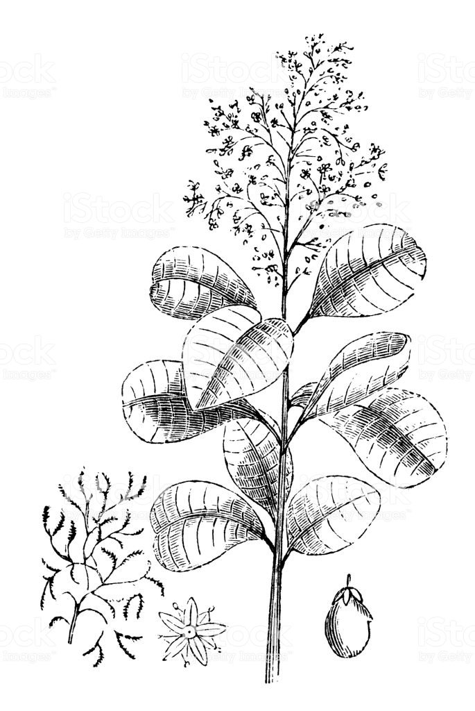 Sketch-of-Smoke-tree
