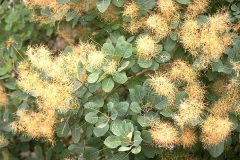 Leaves-and-flower-clusters-of-Smoke-tree
