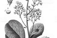 Plant-Illustration-of-Smoke-tree