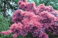 Smoke-tree