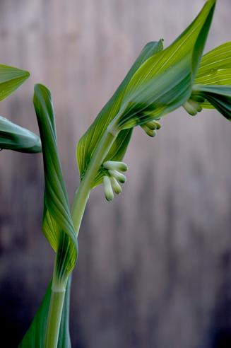 Flowering-buds-of-Smooth-Solomon's-Seal