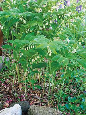 Smooth-Solomon's-Seal-plant