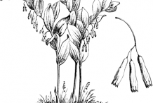 Sketch-of-Smooth-Solomon's-Seal