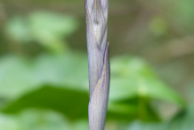 Solomons-seal-sprouting