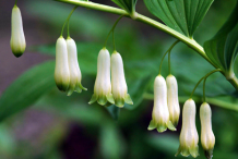 Flowers-of-Smooth-Solomon's-Seal