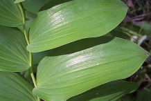 Leaves-of-Smooth-Solomon's-Seal