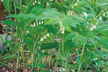 Smooth-Solomon's-Seal-plant