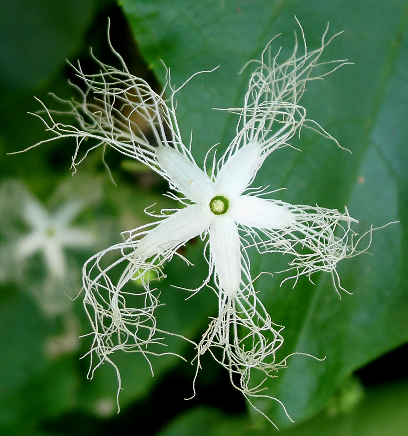 Close-up-flower-of-Snake-gourd