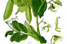 Plant-Illustration-of-Pea