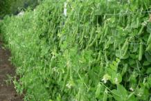 Snow-Peas-Farming