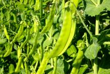 Sweet-Peas-on-the-plant
