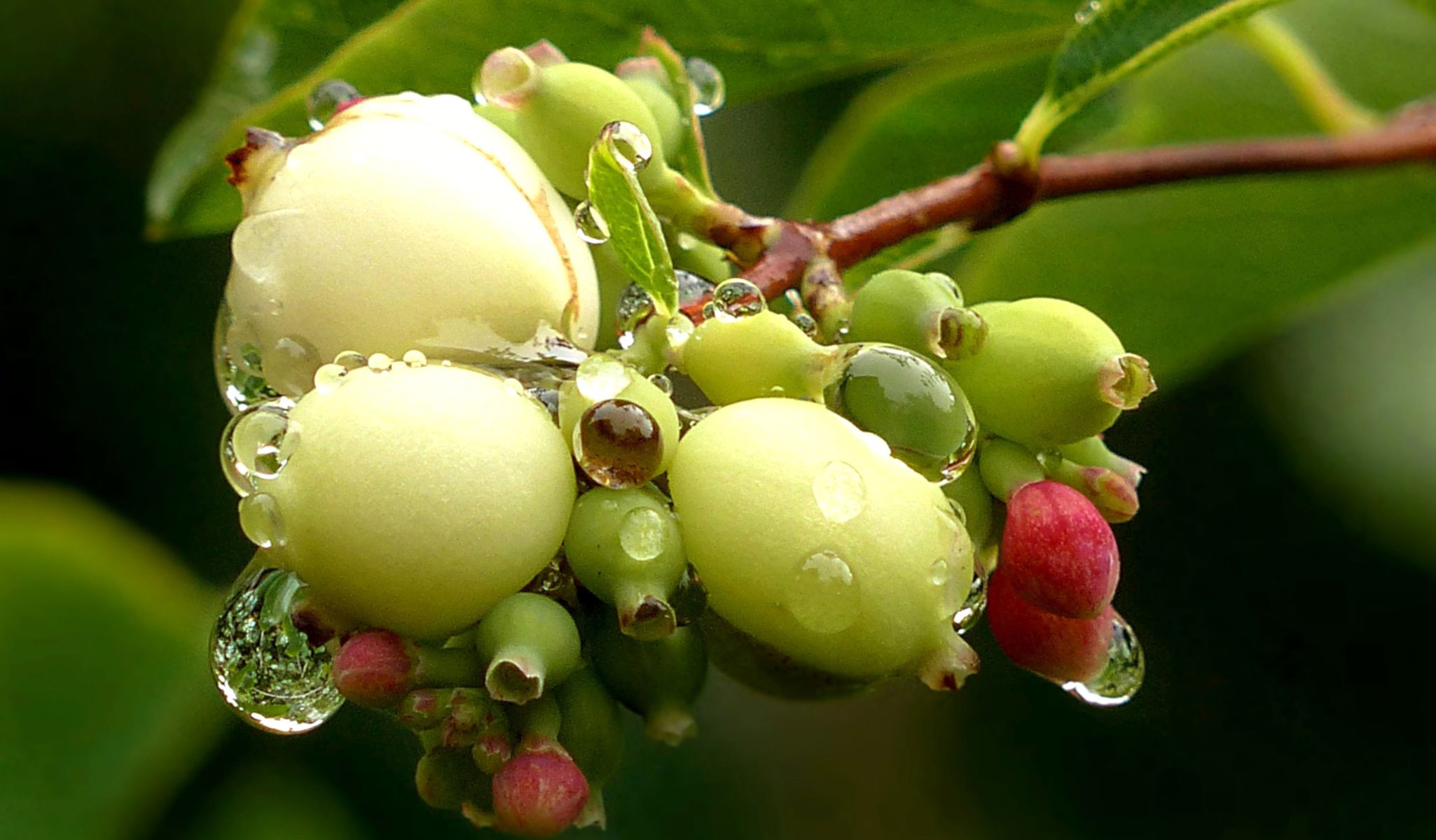 Bunch-of-maturing-fruits-of-Snowberry