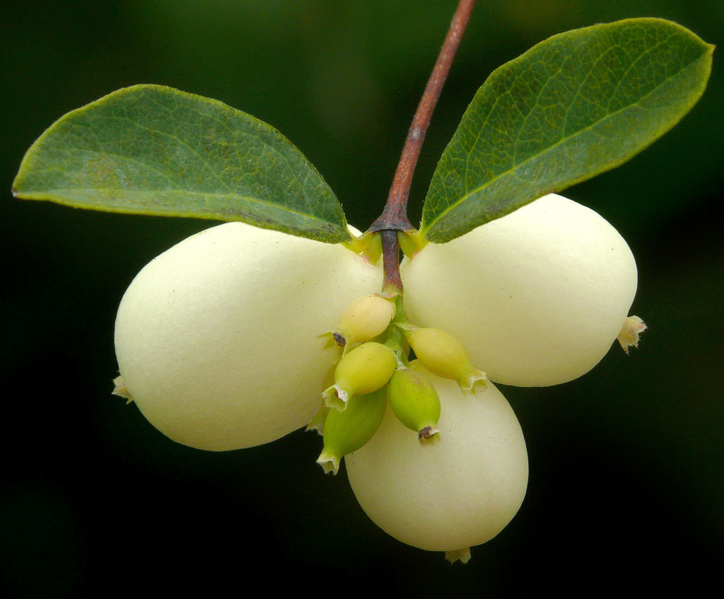 Closer-view-of-fruit-of-Snowberry