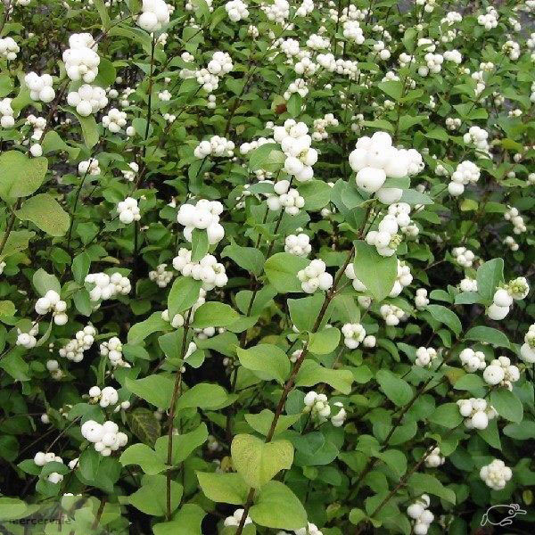 Snowberry-plant-growing-wild