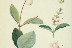 Plant-Illustration-of-Snowberry