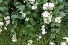 Snowberry-plant