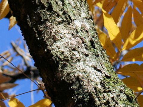 Bark-of-Soap-Nut-plant