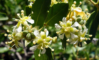Flower-of-Soap-Nut-plant
