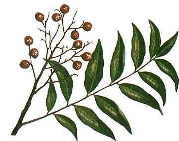 Sketch-of-Soap-Nut