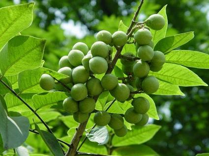 Unripe-soapnuts