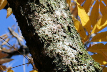 Bark-of-Soap-Nut-plant