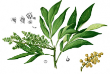 Plant-illustration-of-Soap-nuts