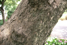 Trunk-of-Soap-Nut-Plant
