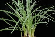 Leaves-of-Society-garlic