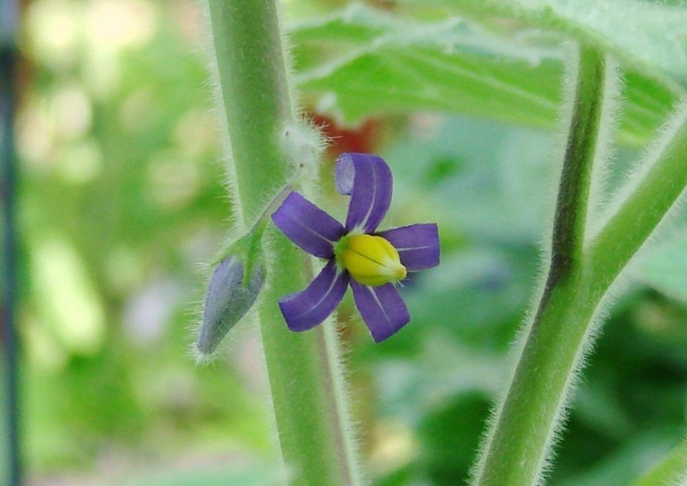 Solanum-mammosum-close-up-flower