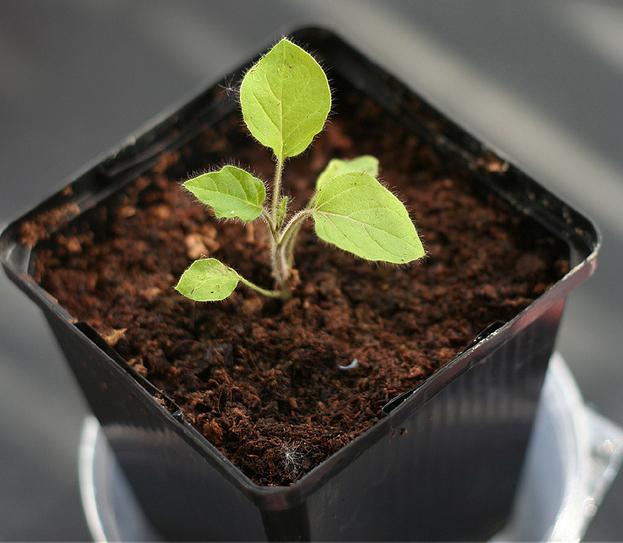 Solanum-mammosum-seedlings