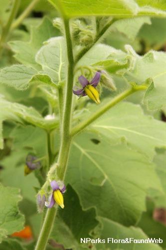 Solanum mammosum stem