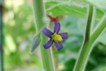 Solanum-mammosum-close-up-flower