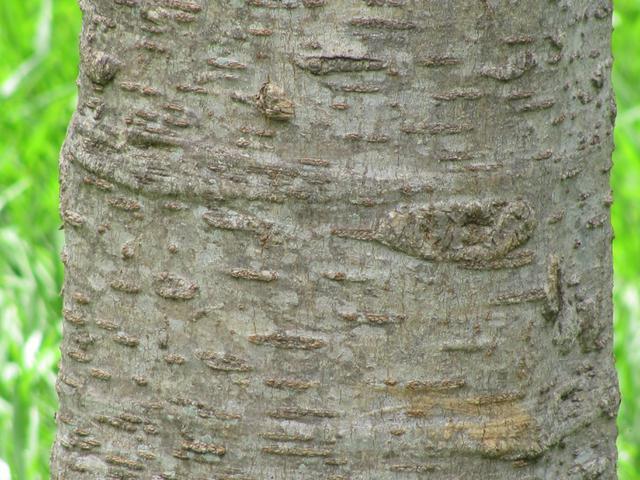 Bark-of-Sonapatha