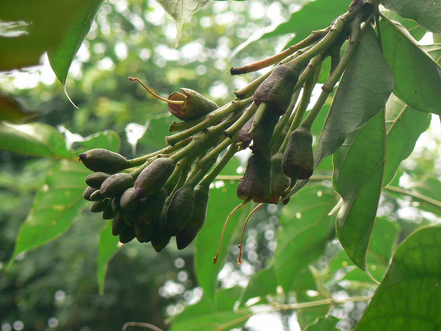Flower-buds-of-Sonapatha