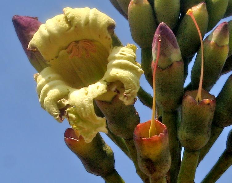 Flower-of-Sonapatha